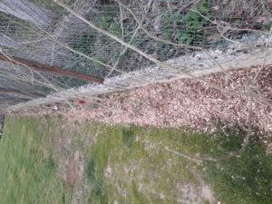 plantation d hibiscus